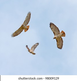 Soaring Red-Tailed Hawks (Buteo jamaicensis)