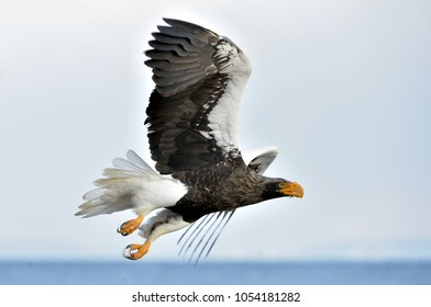 Soaring Steller's sea eagle. Blue sky background. Adult Steller's sea eagle (Scientific name: Haliaeetus pelagicus).