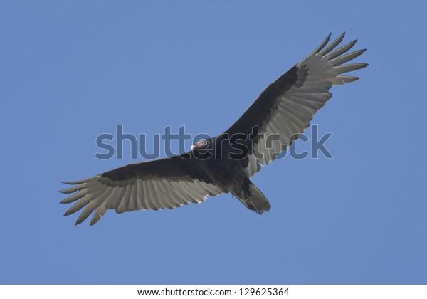 Soaring Turkey Vulture - Cathartes aura.