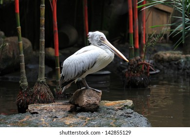 Soaring white pelican,white water bird in zoo