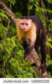 SOBERANIA NATIONAL PARK, PANAMA - AUGUST 14, 2009: Capuchin Monkey, Cebus capucinus. Wild animal.