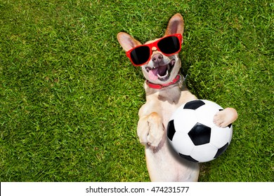 soccer  chihuahua dog holding a ball and laughing out loud with red sunglasses on the grass meadow at the park outdoors