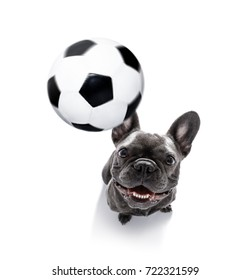 soccer french bulldog  dog playing with leather ball  , isolated on white background, wide angle fisheye view