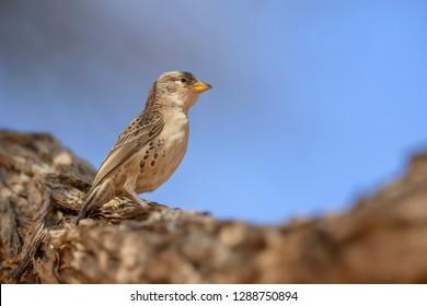 Sociable Weaver - Philetairus socius, common beautiful weawer from African savannas and bushes, Sossusvlei, Namibia.