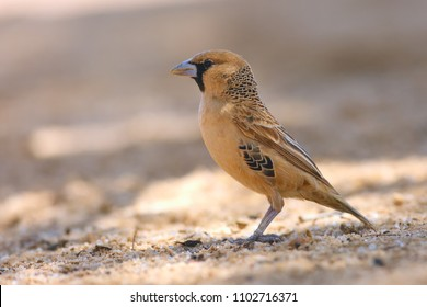 The sociable weaver (Philetairus socius), also commonly known as the common social weaver, common social-weaver, and social weaver sitting on the sand. Passerine with brown background.