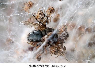 Social velvet spiders Stegodyphus sp. eating fly.