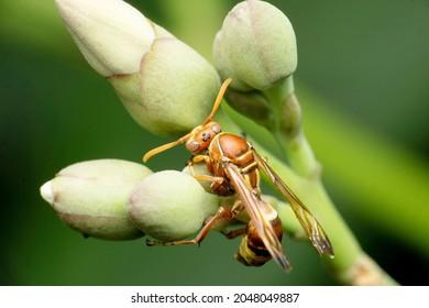 Social wasp, Vespula germanica, Satara, Maharashtra, India