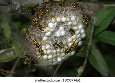 Social wasps constructing the nest.
