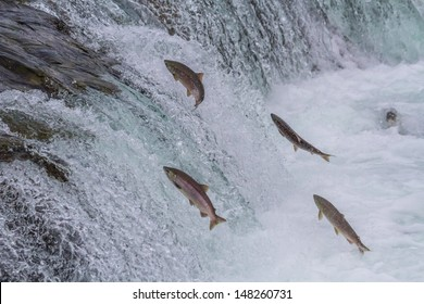 Sockeye Salmon Jumping Up Brooks Falls in Katmai National Park, Alaska