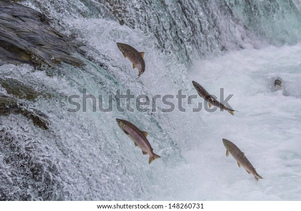 Sockeye Salmon Jumping Up Brooks Falls in Katmai National Park, Alaska