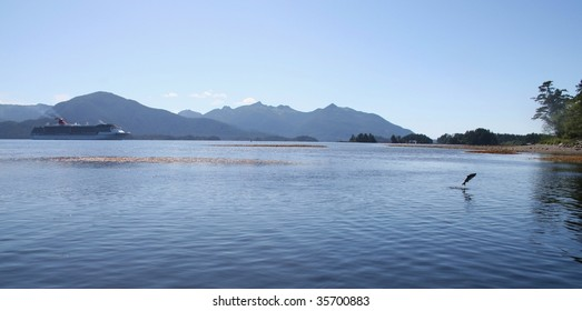 Sockeye salmon jumping near Sitka Alaska's Indian River with a cruise ship in the background