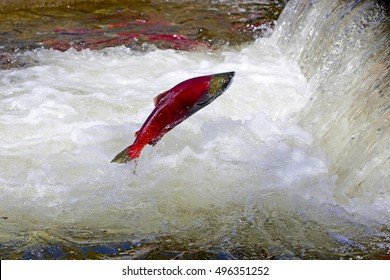 Sockeye Salmon jumping waterfall on his way to the spawning ground.