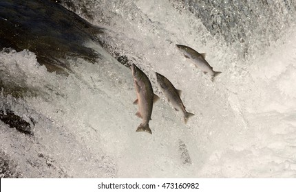 sockeye salmon leaping into the air to try and get over the waterfalls at Brooks Falls in Katmai National Park, Alaska