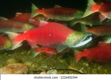 Sockeye Salmon male with otherswith its transformed beak like a parrot and the hump to impress other males. They change colour to red/olive once they enter fresh water - Adams River, British Columbia.