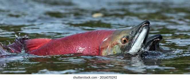 Sockeye Salmon in the river. Red spawning sockeye salmon in a shallow stream. Sockeye Salmon swimming and spawning. Scientific name: Oncorhynchus nerka