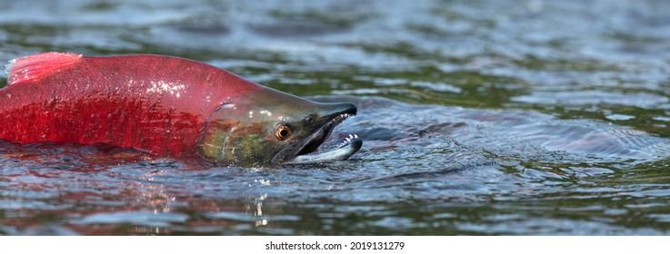 Sockeye Salmon in the river. Red spawning sockeye salmon in a river. Sockeye Salmon swimming and spawning. Scientific name: Oncorhynchus nerka. Natural habitat. Kamchatka, Russia.