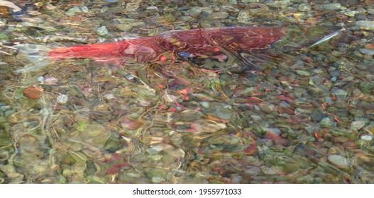 Sockeye salmon spawning in gravel stream as abstract art