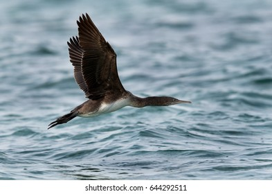 Socotra cormorant flying