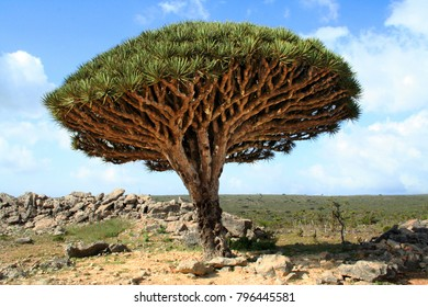 Socotra dragon tree or dragon blood tree (Dracaena cinnabari) is a dragon tree native to the Socotra archipelago in the Indian Ocean.