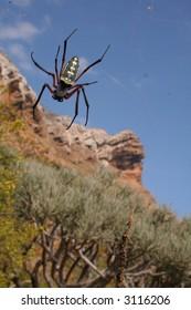 Socotra Spider