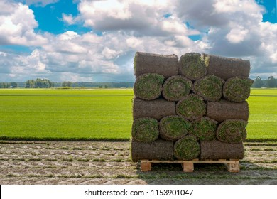 The sod on pallets on a turf farm. Rolled lawn, green grass.