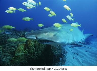 Sodwana Bay, Indian Ocean, South Africa, Sand tiger shark (carcharias taurus) and golden trevally (gnathanodon speciosus)
