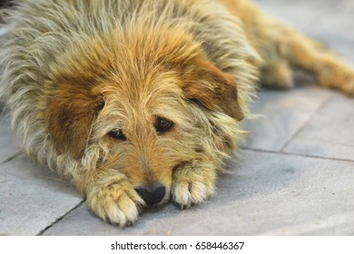 Sofia,Bulgaria - May 30, 2017: A homeless dog lying on the sidewalk and watching the passers-by