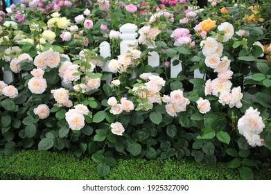 Emily Bloom Pink Rose