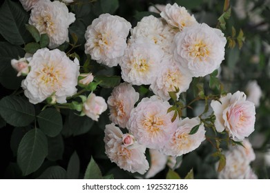 Soft apricot-pink shrub English rose (Rosa) Emily Bronte blooms on an exhibition in May