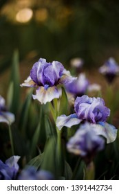 soft background with Iris flowers in the garden