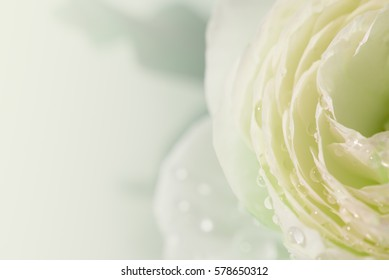 Soft background of water drops and bokeh on sweet white green English rose petals, close up