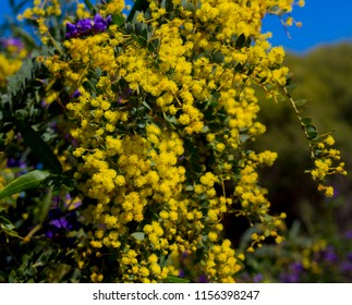 Soft  beautiful  fluffy  fragrant  yellow West Australian wattle acacia species  blooming in spring in Big Swamp, Bunbury, Western Australia  adds  sweet fragrance  and food for native bird species .