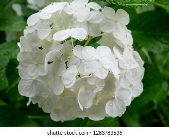Soft and beautiful white hydrangea flower