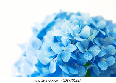 Soft blue Hydrangea (Hydrangea macrophylla) or Hortensia flower with water dew on petals. fading into white background. Shallow depth of field for soft dreamy feel.