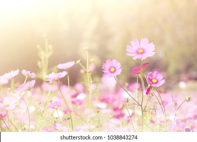 Soft and blur Cosmos flowers with sunlight for background. pastel color