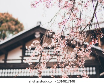 Soft and blur vintage background of pink cherry blossom branch in Japan