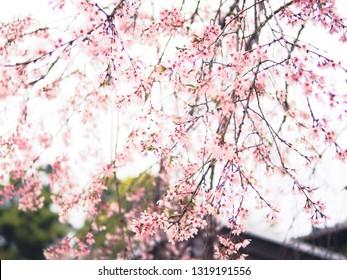 Soft and blur vintage of cherry blossom (Sakura) in spring season of Japan. Natural background spring shot of Iwakuni city.