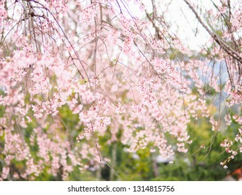 Soft and blurred background of pink cherry blossom on tree in spring season of Japan