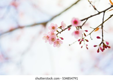 Soft Blurred of beautiful Cherry blossom flower in north of Thailand.
