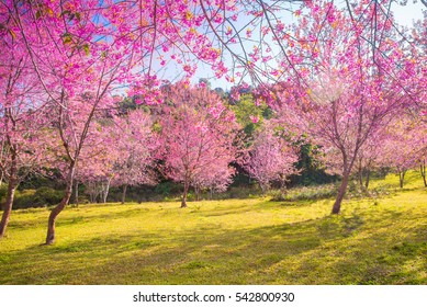 Soft Blurred of beautiful Cherry blossom flower on sunshine day in  Phu lom lo of Thailand