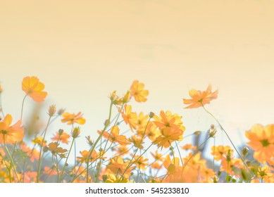 Soft blurred the beautiful colorful Cosmos flower on yellow white balance.