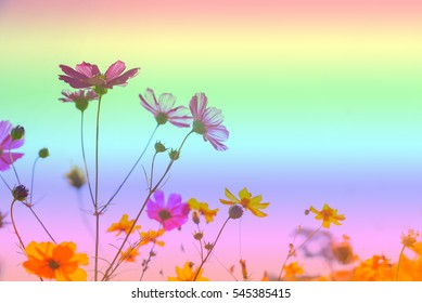 Soft blurred the beautiful colorful Cosmos flower.