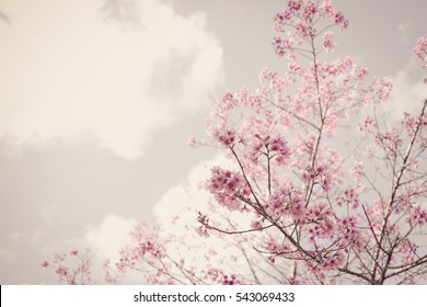 Soft Blurred of beautiful pink Cherry blossom flower stay vintage photo