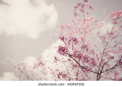 Soft Blurred of beautiful pink Cherry blossom flower stay vintage photo.