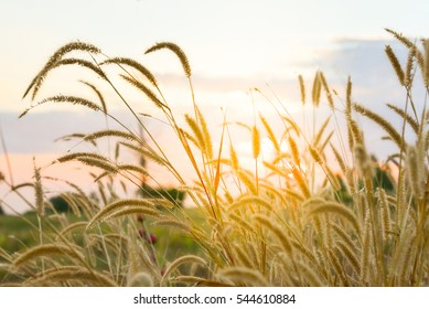 Soft and blurred focus beautiful grass flowers with Sunset in the evening.
