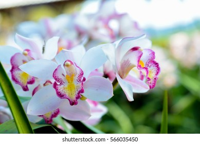 soft and blurred focus the beautiful white cymbidium flower orchid close up in garden.