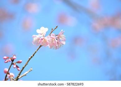 Soft and blurred focus the cherry blossom flower(sakura flower) on blue sky of background.