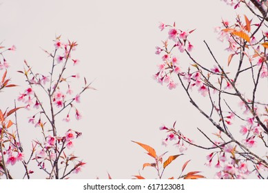 Soft and blurred focus the cherry blossom flower(sakura flower)
