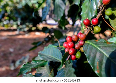 soft and blurred focus Coffee beans ripening on tree in North of Thailand.