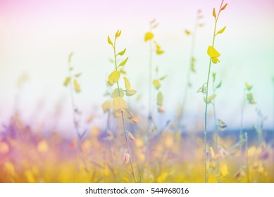 Soft and blurred focus the colorful beautiful Crotalaria.